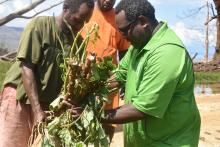 Agriculture Director Antoine Ravo handing over kumala and manioc cuttings to communities around central Pentecost.